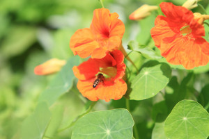 Bee_Kranjska čebela (Foto V. Rezar)