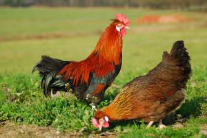 Rooster_Petelin in kokoš slovenske avtohtone pasme kokoši - štajerska kokoš (Foto N. Petrič)