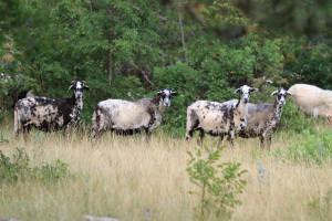 Sheep_Istrska pramenka- ovce na paši (Foto V. Rezar)