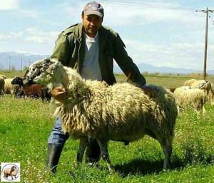 Karagouniko sheep 2