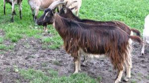 Latvian local goat