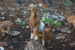 Skopelos goat